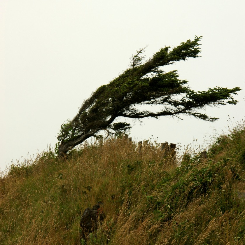 This little pine has bowed to the pressure of the constant winds that sweep up and over the coastline.