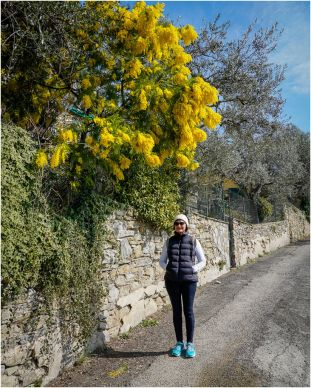 Another visitor to Italy, A Wattle!