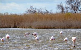 There are plenty of reasons to visit the Camargue, one of the main reasons to visit is to get a chance to see Flamingos in the wild.
