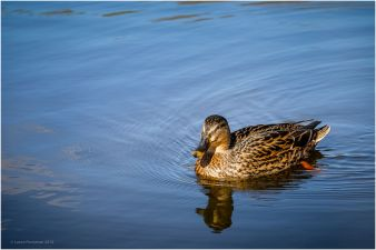 Inquisitive Duck.